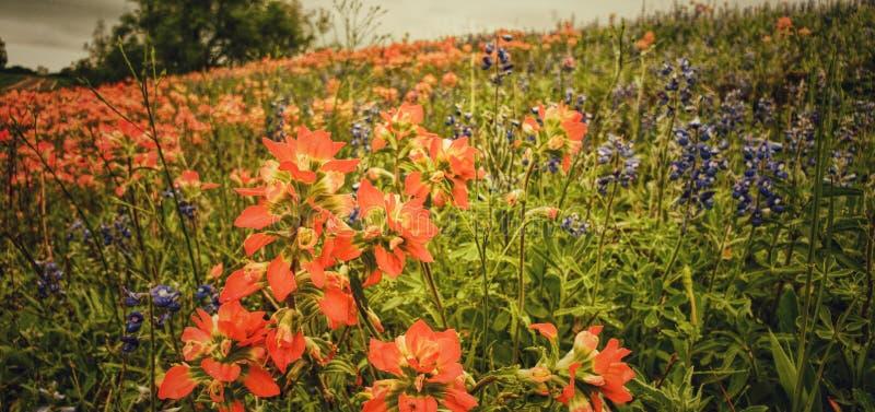 Kolorowi Teksas wildflowers po dnia burze obrazy stock
