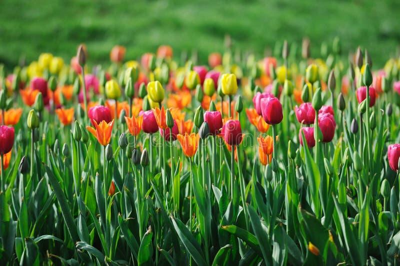 kolorowi tulipany zdjęcie royalty free