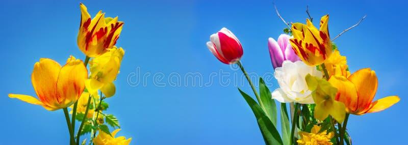 Kolorowi tulipany i złociści florets, niebieskie niebo obraz stock