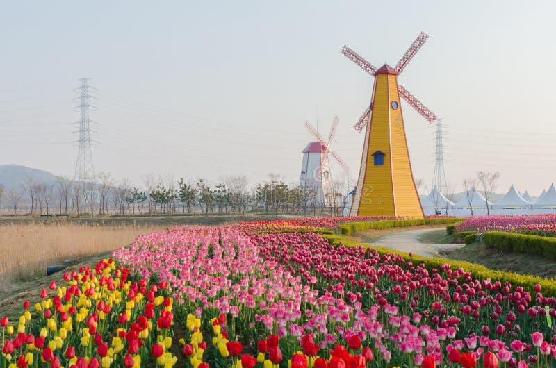 Kolorowi tulipany w parkowych i drewnianych wiatraczkach na tle zdjęcie stock
