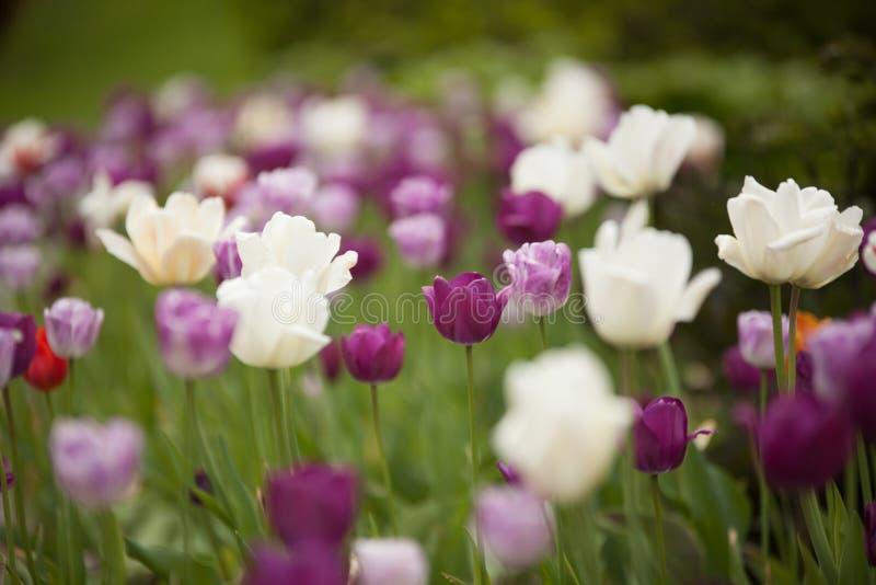 Kolorowi tulipany w parku zdjęcia stock