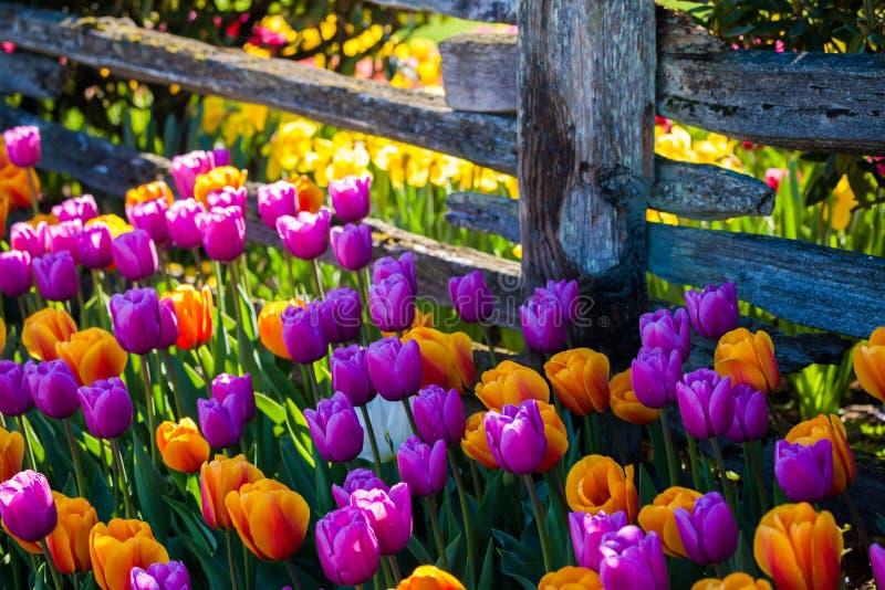 Kolorowi tulipany wzdłuż starego ogrodzenia fotografia royalty free