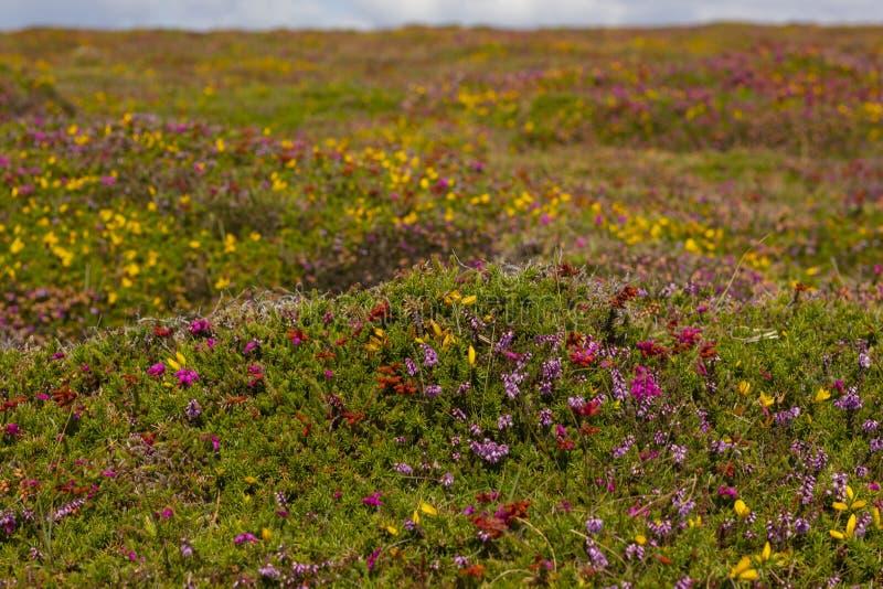 Kolorowi wrzosów pola Cote De Granit Wzrastający w Bretagne, Francja obrazy stock