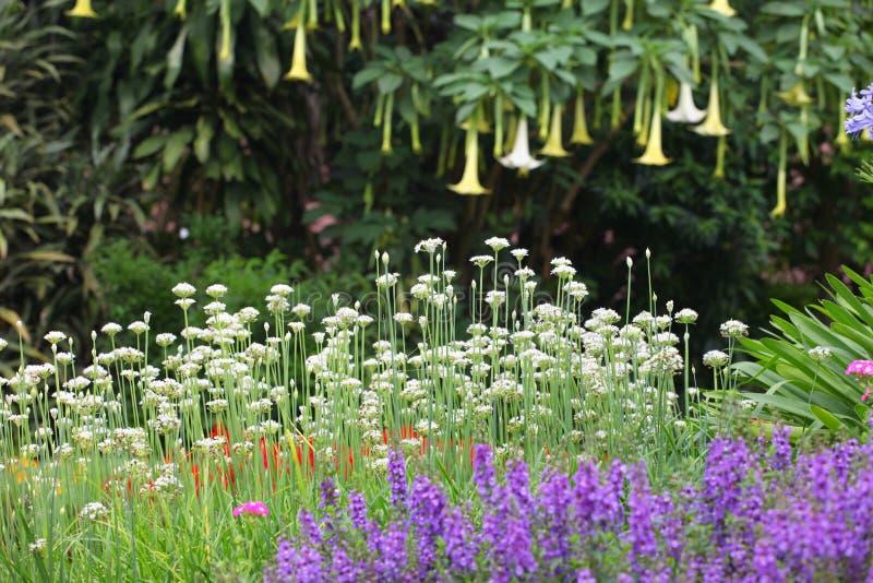 Kolorowy łóżko odwiecznie, zielne rośliny w Angielskim stylu i uprawia ogródek zdjęcie royalty free