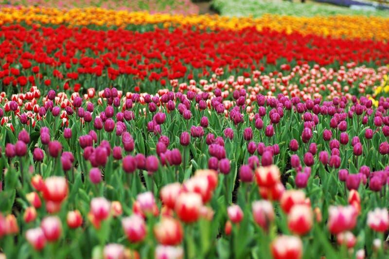 kolorowy 1 tulipan fotografia royalty free