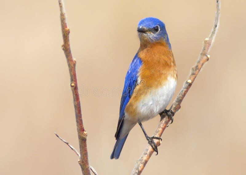 Kolorowy Błękitny ptak - Męski Wschodni Bluebird w Ontario zdjęcia stock