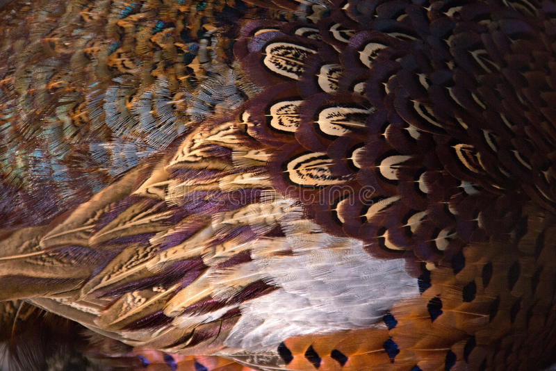 Kolorowy bażant upierza tło Abstrakcjonistyczna horyzontalna tekstura fotografia stock