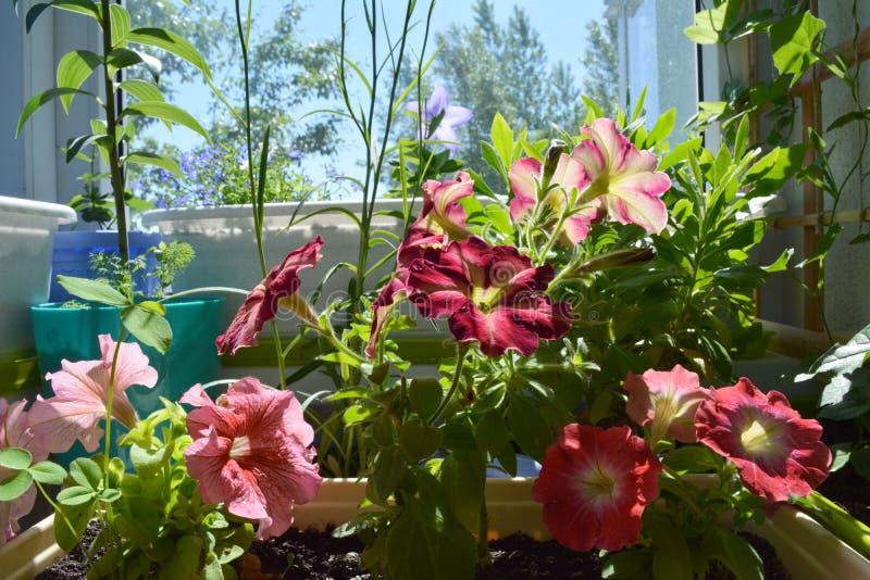 Kolorowy balkonu ogród z różnymi roślinami Piękni petunia kwiaty fotografia stock