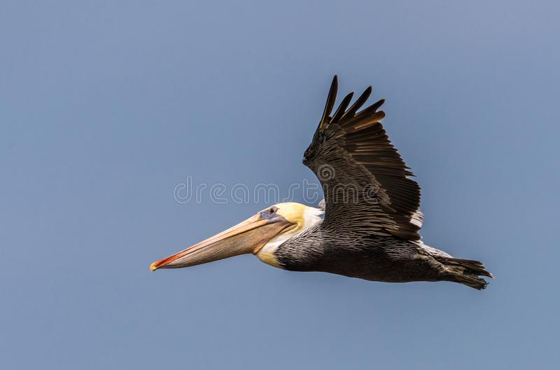 Kolorowy Brown pelikana latanie w głębokim niebieskim niebie obrazy royalty free