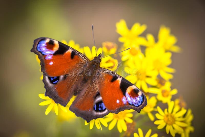 Kolorowy Europejski Pawi motyl fotografia stock
