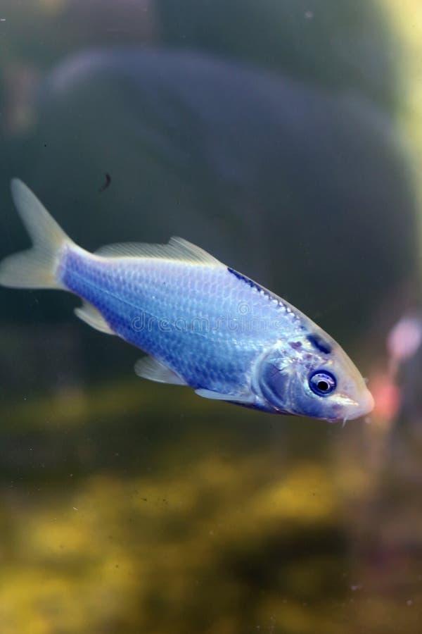 Kolorowy i Błyszczący świeżej wody ryby Pływać Podwodny zdjęcie royalty free