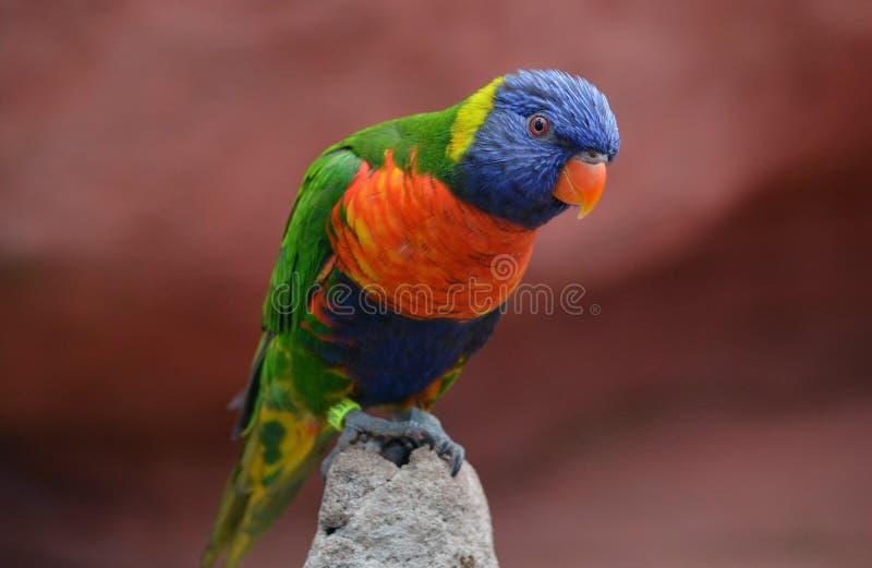 Kolorowy i piękny Lorikeet zdjęcie stock