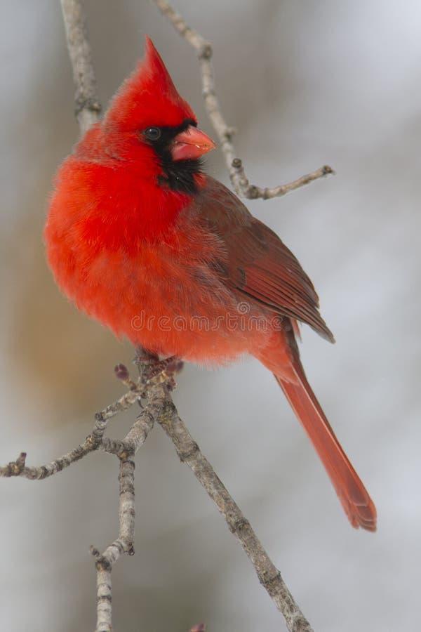 Kolorowy jaskrawy czerwony męski Północny kardynał w zimie zdjęcia stock