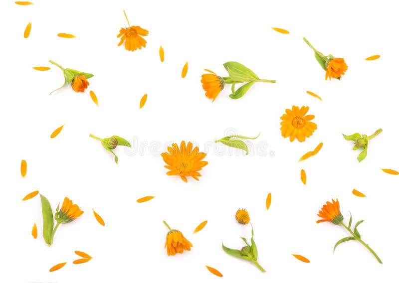 Kolorowy jaskrawy wzór pomarańczowi calendula kwiaty obrazy stock