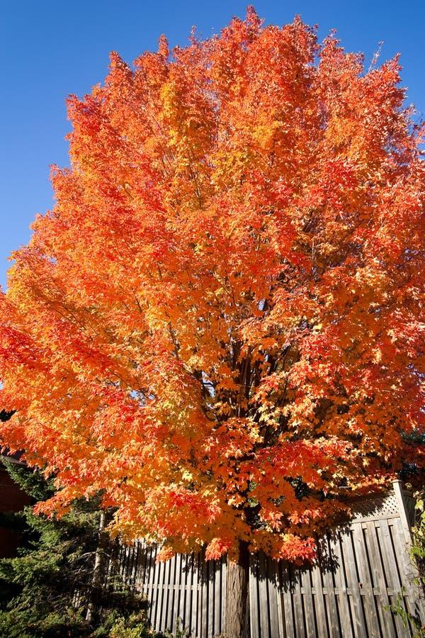 kolorowy jesień drzewo fotografia royalty free