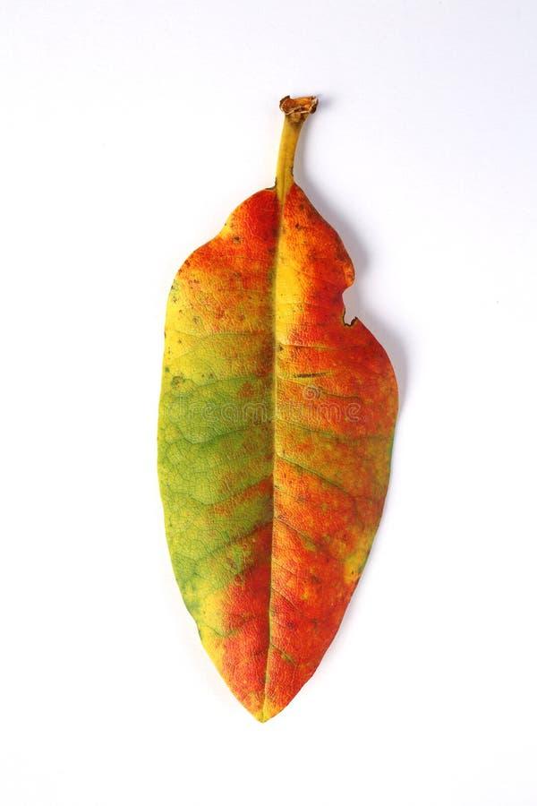 Kolorowy jesień liść odizolowywający obraz stock