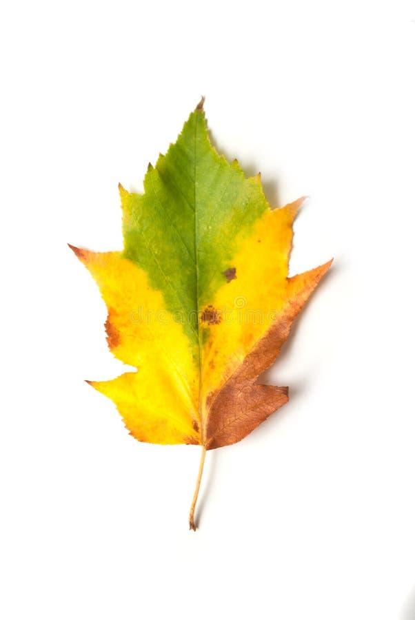 kolorowy jesienny li?? na bia?ym tle zdjęcie royalty free