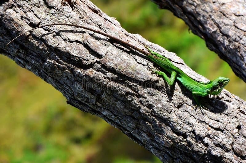 Kolorowy kameleon, parka narodowego Horton równiny fotografia royalty free