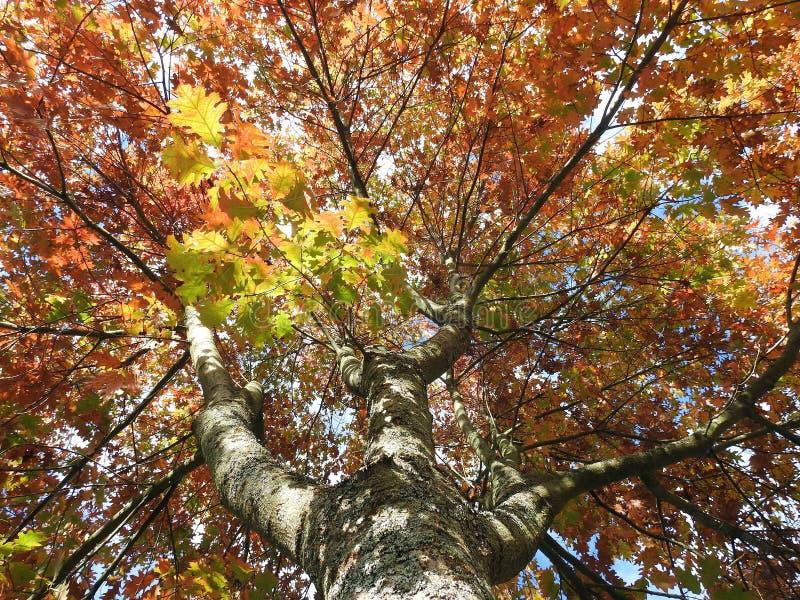 Kolorowy klonowy drzewo w jesieni, Lithuania zdjęcie royalty free