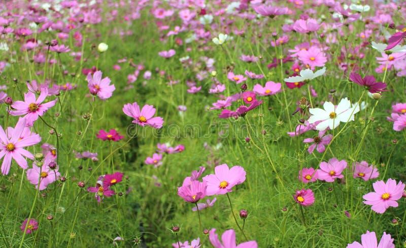 Kolorowy kosmos kwitnie kwitnienie w polu park spo?ecze?stwa zdjęcia stock