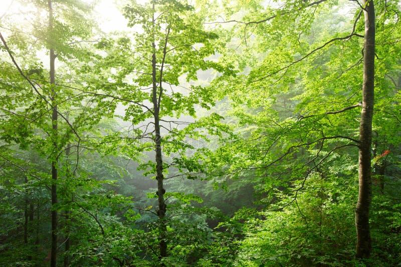 Kolorowy krajobraz z bukowym lasem i słońcem z jaskrawymi promieniami pięknie błyszczy przez ranek mgły i drzew światło, fotografia stock