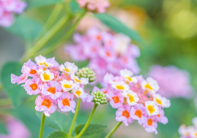 Kolorowy kwiat, Lantana, Dzika mędrzec, płótno złota Lantana cama obraz royalty free