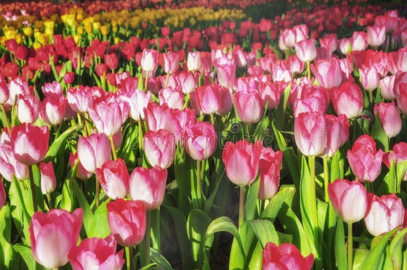 Kolorowy kwiatu tulipan segregujący zdjęcie stock