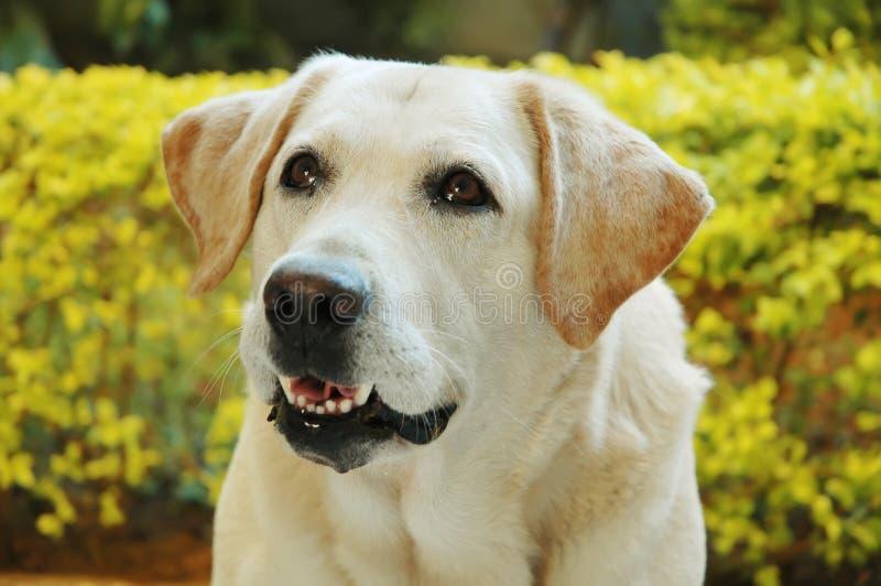 Kolorowy labrador fotografia royalty free