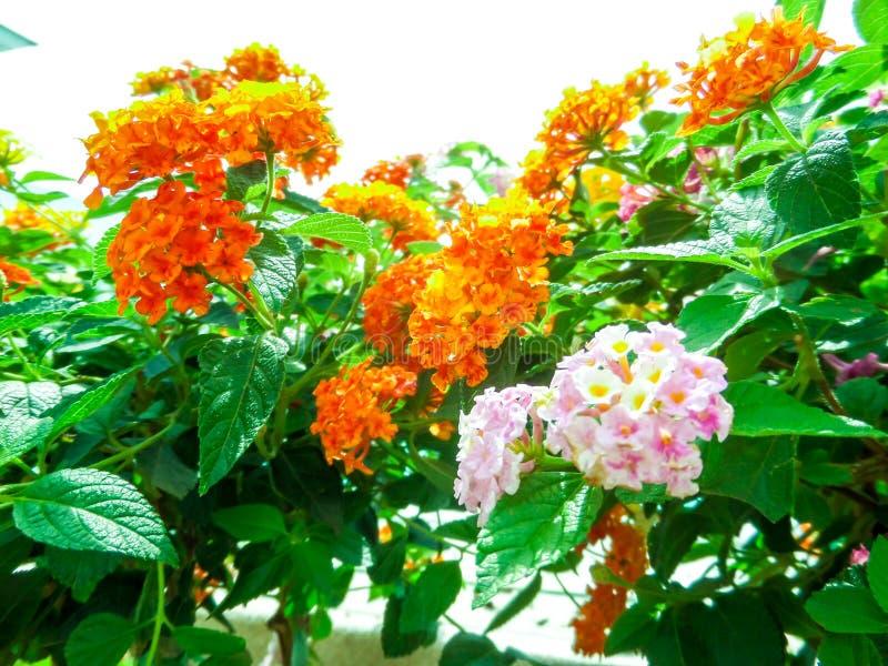 kolorowy lantana camara mieszanki światło - różowy pomarańczowy biały magenta ja fotografia royalty free