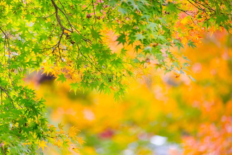 Kolorowy liść klonowy w Japan jesieni sezonie zdjęcia stock