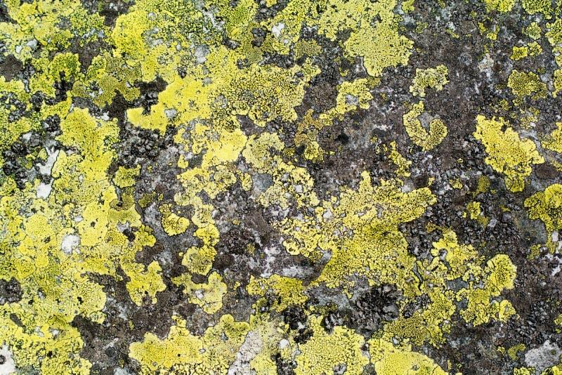 Kolorowy liszaj żółty kolor Tekstura na kamieniu horyzontalny fotografia stock