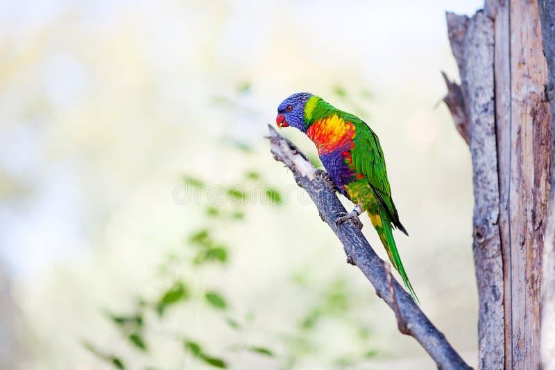 kolorowy lory papugi zoo zdjęcie stock
