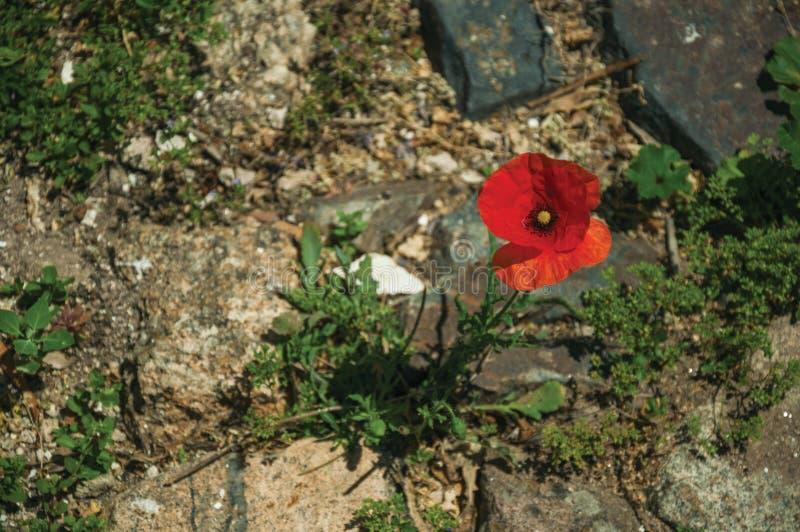 Kolorowy makowy kwiatu dorośnięcie po środku kamieni obrazy royalty free