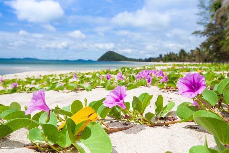 Kolorowy morze przy lato czasem, Plażowego ranku chwały okwitnięcie na whit zdjęcia stock