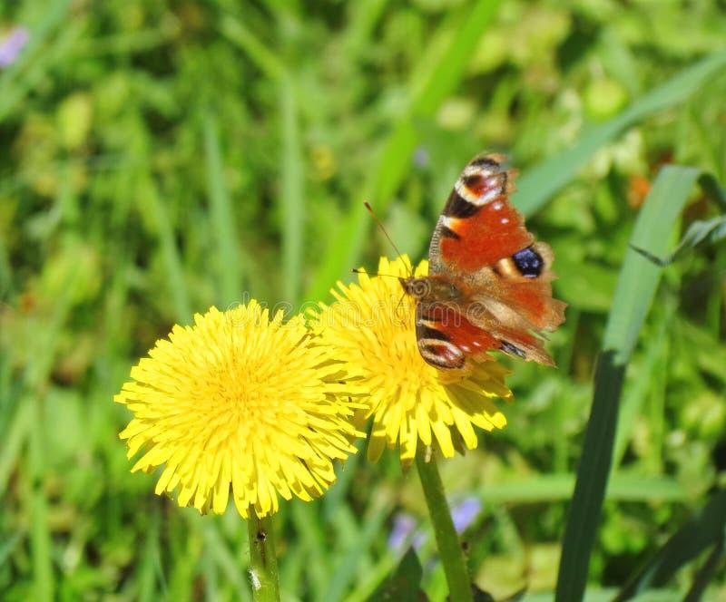 Kolorowy motyl na żółtym kwiacie zdjęcia royalty free