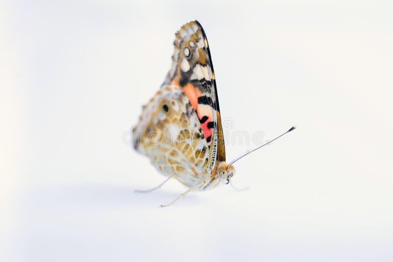 Kolorowy motyl na bia?ym tle Kopii przestrzenie zdjęcia stock