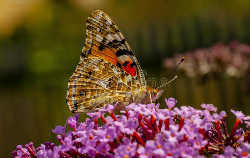 Kolorowy motyl na kolorowym kwiacie sączy nektar zdjęcia royalty free