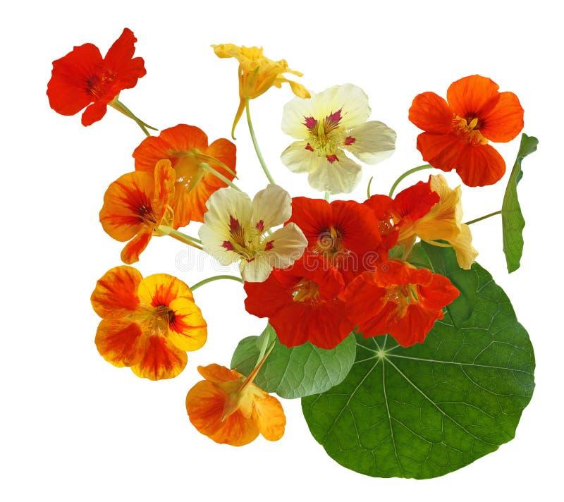 Kolorowy nasturcja kwiat obraz royalty free
