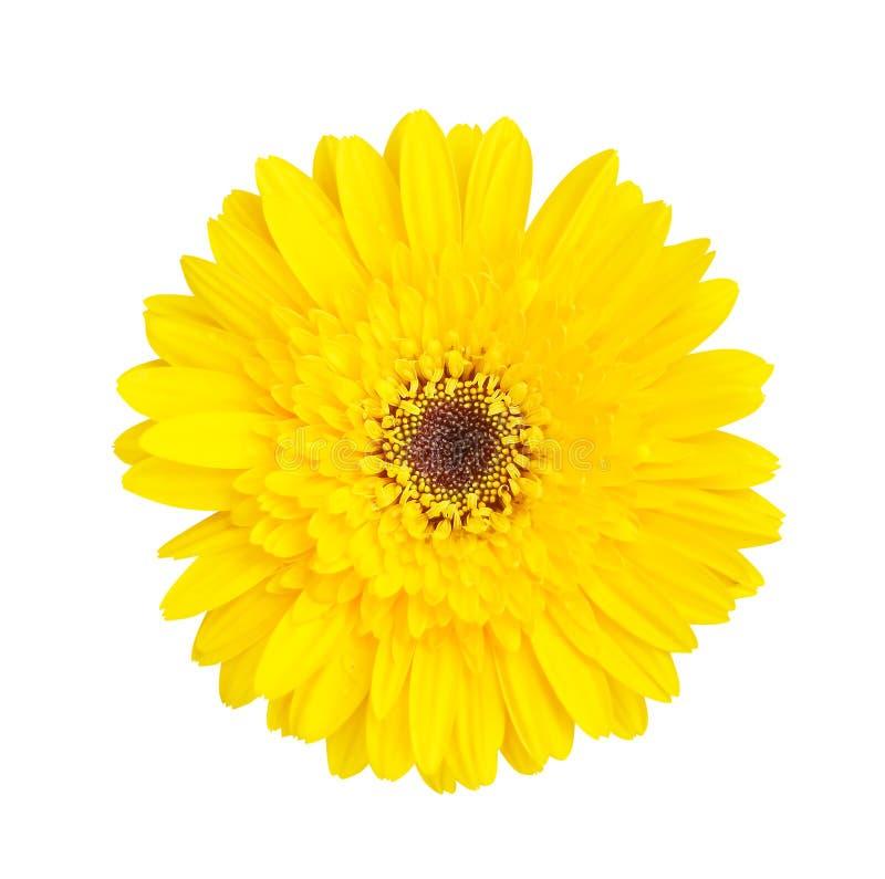 Kolorowy odgórnego widoku gerbera lub barberton stokrotki kwiatu piękny żółty kwitnienie z wod kroplami odizolowywać na białym tl obrazy royalty free