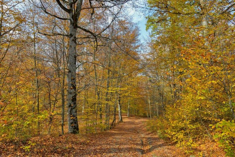 Kolorowy oszałamiająco jesień lasu krajobraz w Październiku obraz royalty free
