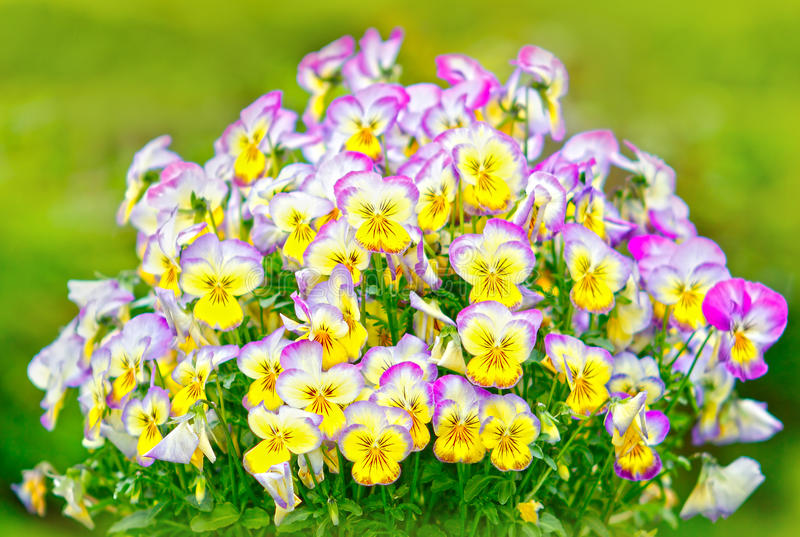 Kolorowy pansy kwitnie tło fotografia stock