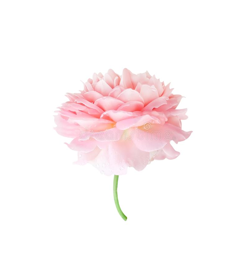 Kolorowy piękny światło - menchii róży kwiaty kwitnie z wody kroplą deseniują badyl i zielenieją, udziały płatki pokrywają się, o fotografia stock