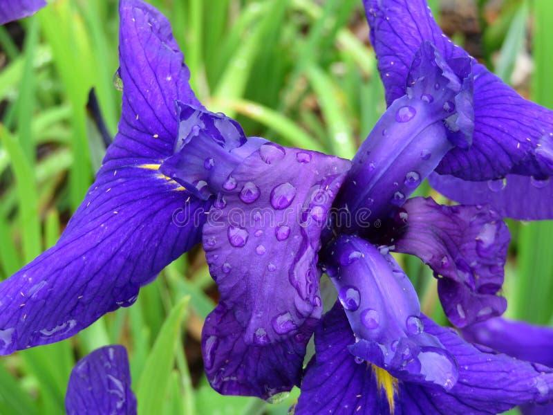 Kolorowy Purpurowy Irysowy kwiat w Czerwcu w wiośnie zdjęcia royalty free