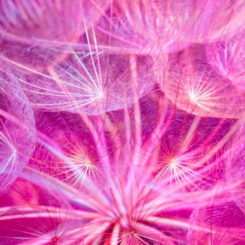 Kolorowy Różowy Pastelowy tło - żywy abstrakcjonistyczny dandelion flowe obrazy royalty free