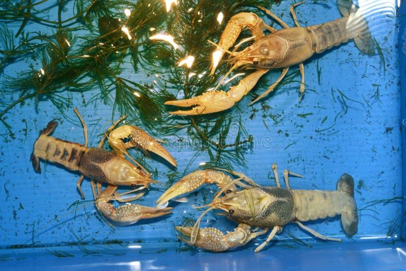 Kolorowy rakowy Procambarus Clarkii Jasny zdjęcia royalty free