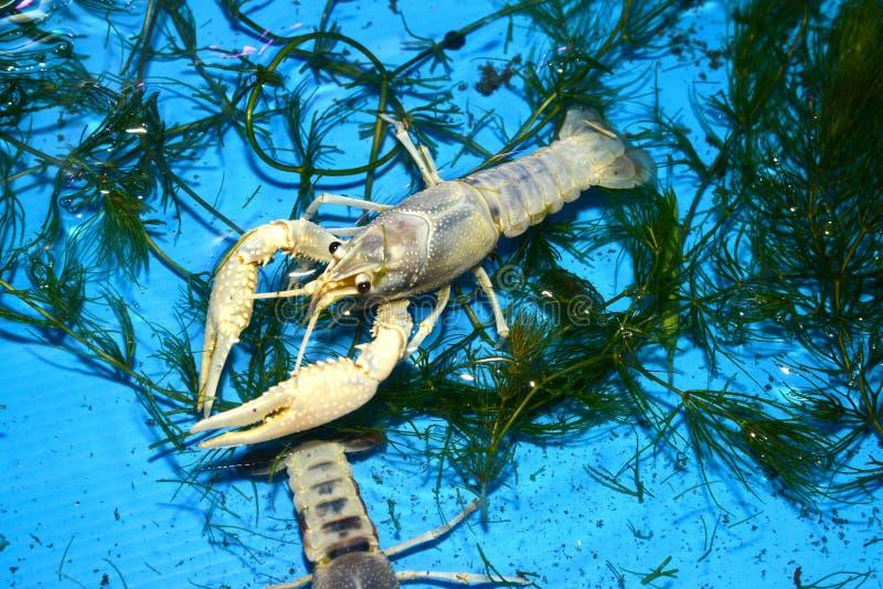 Kolorowy rakowy Procambarus Clarkii Jasny fotografia royalty free