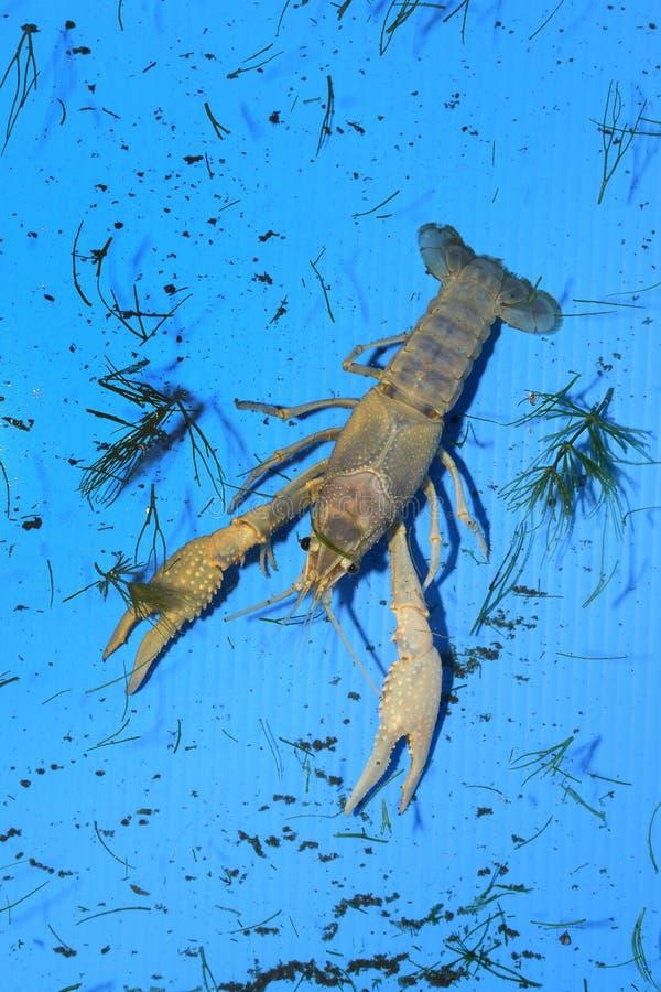 Kolorowy rakowy Procambarus Clarkii Jasny obraz stock