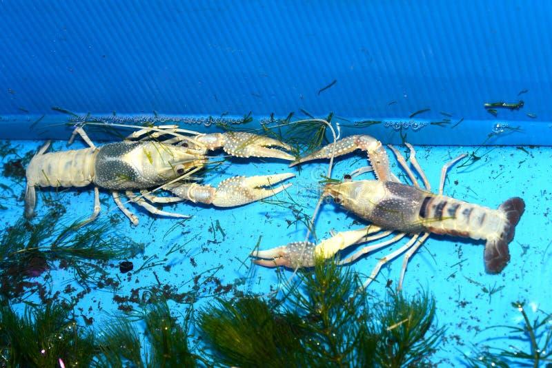 Kolorowy rakowy Procambarus Clarkii Jasny zdjęcie stock