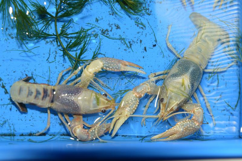 Kolorowy rakowy Procambarus Clarkii Jasny fotografia stock
