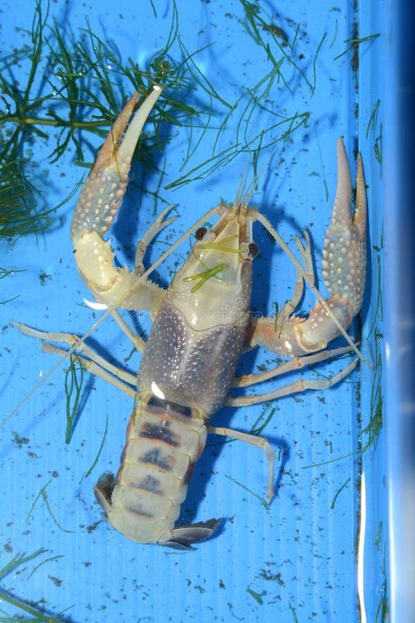 Kolorowy rakowy Procambarus Clarkii Jasny obrazy stock